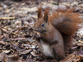 Red squirrel eating nut — Stock Photo