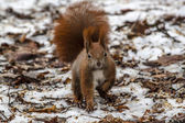 Red squirrel on a winter background — Stock Photo