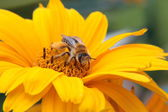 A bee collects nectar — Stock Photo