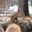 Red squirrel sitting on a tree stump — Stock Photo