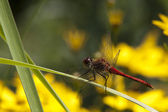 Dragonfly sitting on a leaf - close-up — Stock Photo