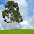 Eucalyptus tree — Stock Photo