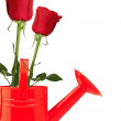 Roses in watering can — Stockfoto #27688377