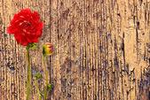 Kırmızı dahlia ile retro vintage arka plan — Stok fotoğraf