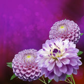 Dahlia Autumn Flowers — Stock Photo