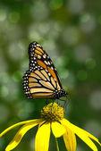 Monarca farfalla sul fiore giallo — Foto Stock