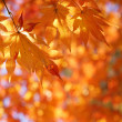 Maple tree leaves back lit by sunlight — Stock Photo