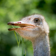 Ostrich head closeup — Stockfoto