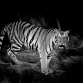 Black & White Tiger — Foto Stock