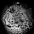 Leopard portrait — Stock Photo #40576509