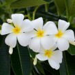 Stock Photo: White and yellow frangipani flowers