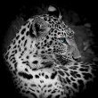Leopard portrait — Stock Photo #40853959