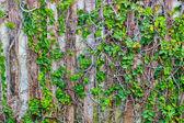 Green Creeper Texture on wall — Stock Photo