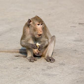 One monkey sits on the stone and eats corn — Stock Photo