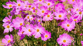 Cosmos pink flower Family Compositae in garden — Stock Photo