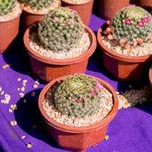 Cactus — Zdjęcie stockowe