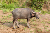 Water buffalo standing on green grass — Stock Photo