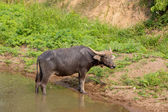 Water buffalo standing on green grass — Stock Photo
