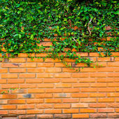 Green ivy on the brick wall — Stockfoto