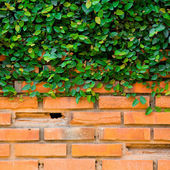 Green ivy on the brick wall — Stock Photo