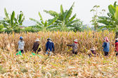 People at corn harvest — Stock Photo