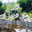 Stock Photo: Common gulls