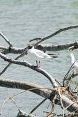 Common gulls — Stock Photo