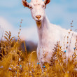 Goat on the field — Stock Photo