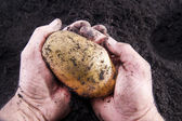 Potato harvesting — Stock Photo