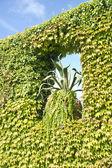 Creeper ivy  — Stock Photo