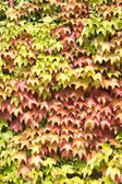 Creeper ivy  — Stock Photo