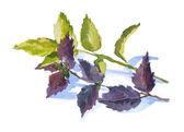 Watercolor herbal basil — Stock Photo