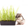 Small hamster hiding in green grass — Stock Photo #51796239