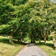 Narrow lane through an avenue of Lime trees. - Stock Photo