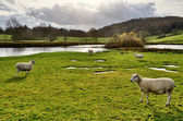 Sheep by a lake in the Winster Valley, Cumbria. — Stock Photo