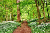 English woodland scene with wild garlic — Stock Photo