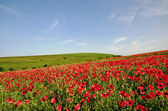 View of a poppy field — Stock Photo