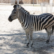 Image of lonely young zebra in zoo - Stock Photo