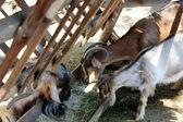 Goats on the farm — Stock Photo