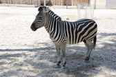 Image of lonely young zebra in zoo — Stock Photo