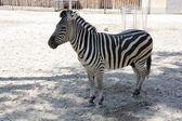 動物園での孤独な若いシマウマのイメージ — ストック写真