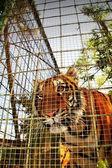 Tiger head — Stock Photo