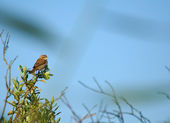 Shrike, red-backed shrike, Lanius collurio — Stock Photo