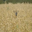 Stock Photo: Roe deer