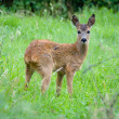 Young Roe deer — Stock Photo #13153253