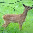 Young Roe deer — Stock Photo #13153387