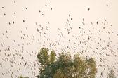 ホシムクドリ, 尋常性 — ストック写真