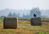 Common raven, raven, Corvus corax — Stock Photo