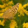Argynnis paphia — Stock Photo