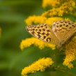 Stock Photo: Argynnis paphia